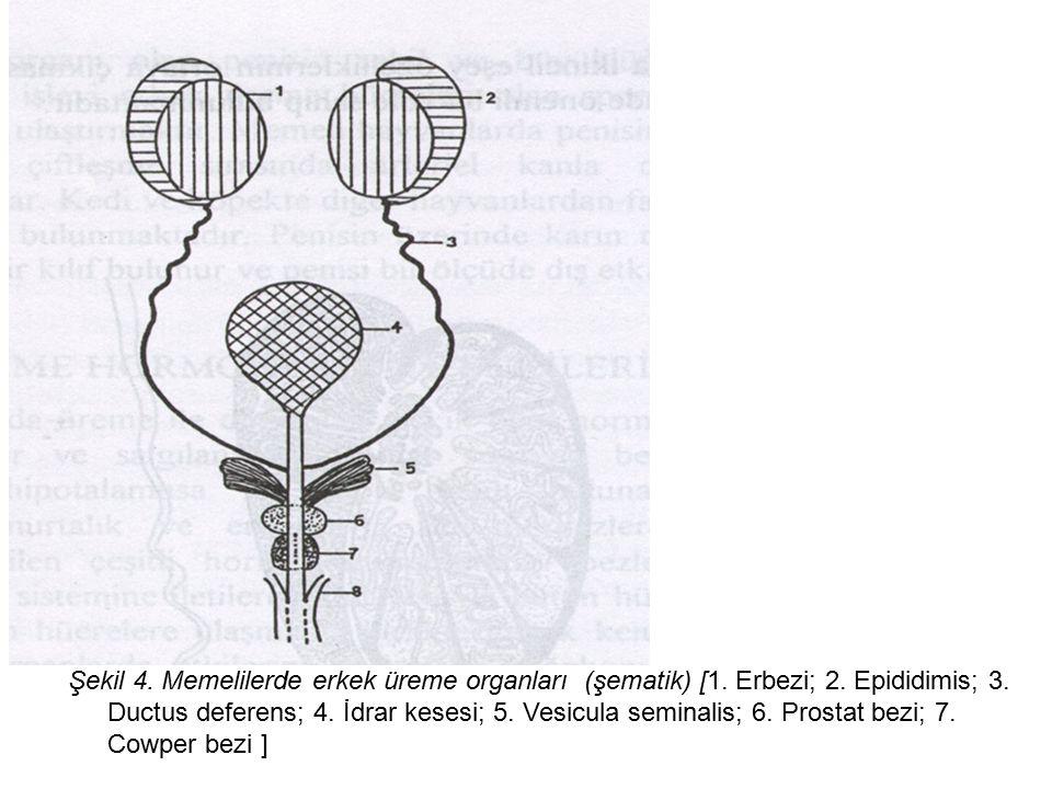 Şekil 4. Memelilerde erkek üreme organları (şematik) [1. Erbezi; 2